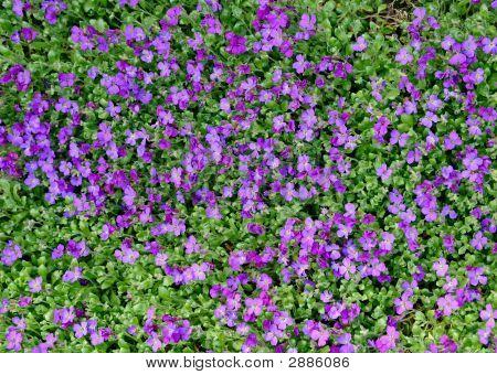 Tiny Lilac Flowers