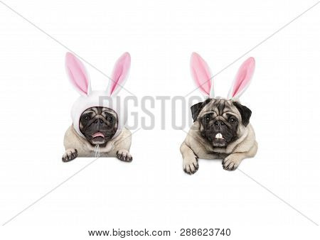 Two Cute Pug Puppy Dogs, Dressed Up As Easter Bunnies, Hanging With Paws On White Banner, Isolated