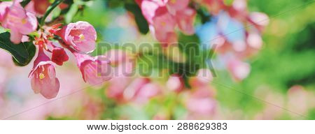 Beautiful Floral Spring Abstract Background Of Nature Branches Blossoming Flower Macro Soft Focus Ba
