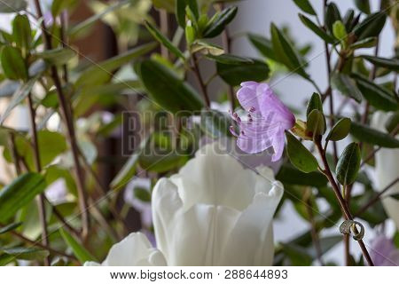 Rhododendron Flower Close-up. White Tulip As A Background Emphasizes The Size Of A Miniature Rhodode