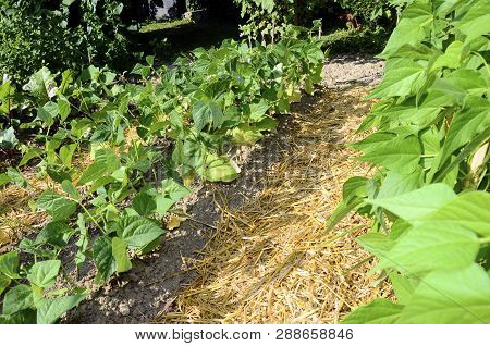 Vegetable Garden, Permaculture With Straws On Ground, Sweet Peas On Wooden Stakes