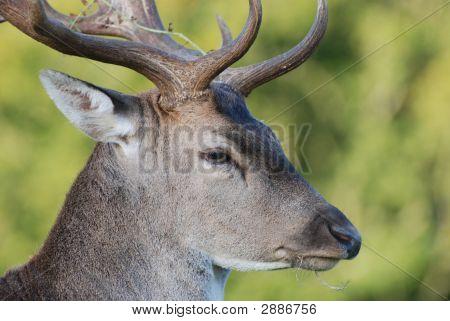 Richmond Park Deer Head
