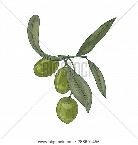 Elegant Botanical Drawing Of Olive Tree Branch With Leaves And Fresh Raw Green Fruits Or Drupes Isol