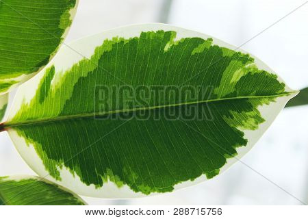 Nature Background.nature Photo Of Ficus.green Leaves Close-up.close Up Natural View Of Green Leaf. N