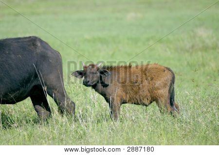 Baby Cape Buffalo Sleeping While Standing