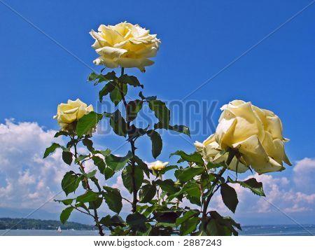 Thtee Yellow Roses