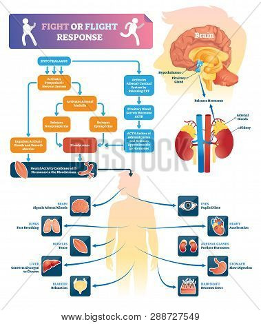 Fight Or Flight Response Vector Illustration. Labeled Organ Response Scheme In Danger Situations. Ch