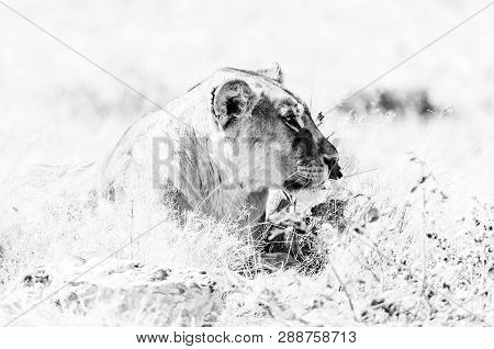 Close-up Of An African Lioness, Panthera Leo, Lying In Grass In Northern Namibia