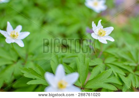 Group Of White Blooming Anemone Ranunculoides In Spring Forest