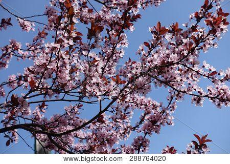 Florescence Of Prunus Pissardii Tree In Spring