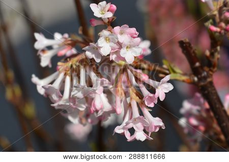Arrowwood Dawn - Latin Name - Viburnum * Bodnantense Dawn
