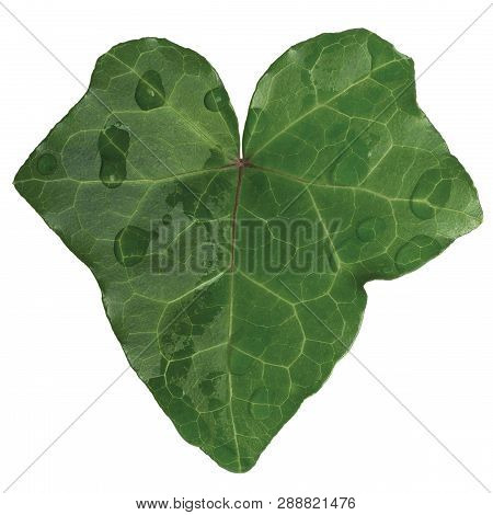 Hedera Helix L. Var. Baltica Leaf, Morning Dew Rain Drops, Climbing Common Baltic Ivy Texture, Large