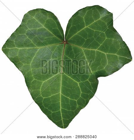 Hedera Helix L. Var. Baltica Leaf, Climbing Common Baltic Ivy Texture, Large Detailed Isolated Macro
