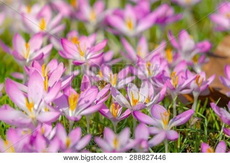 Close-up Of Pink Crocuses On A Sunny Day.  Blooming Crocus On A Meadow. Flowering Crocuses.  Pink Cr