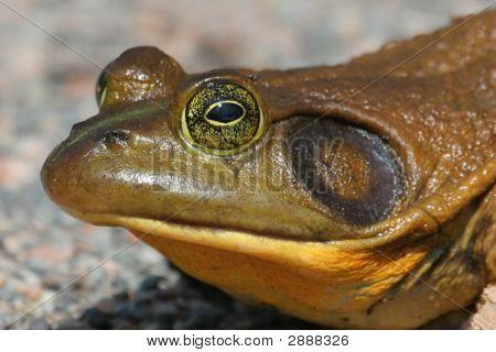 Bull Frog (Rana Catesbeiana)