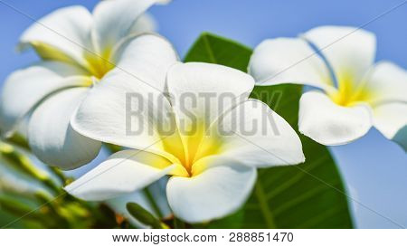 White And Yellow Frangipani Flower Or Plumeria Flowers Blooming On Tree In The Garden In Summer