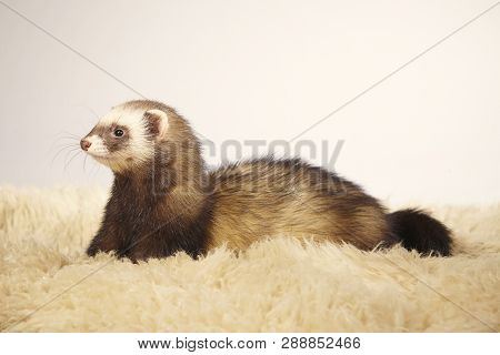 Standard color ferret female posing in studio poster