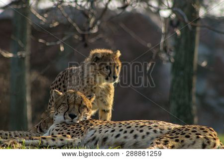 Cheetah Cubs Laying Togehter With Their Family. The Cheetah Is K