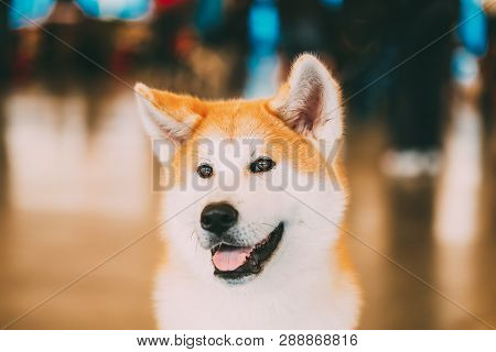 Akita Dog Akita Inu, Japanese Akita Close Up Portrait On Brown Background