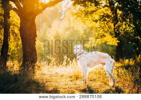 White Russian Dog, Borzoi, Hunting Dog In Summer Sunset Sunrise Forest.