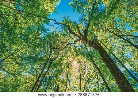 Spring Sun Shining Through Canopy Of Tall Trees. Upper Branches Of Tree. Sunlight Through Green Tree