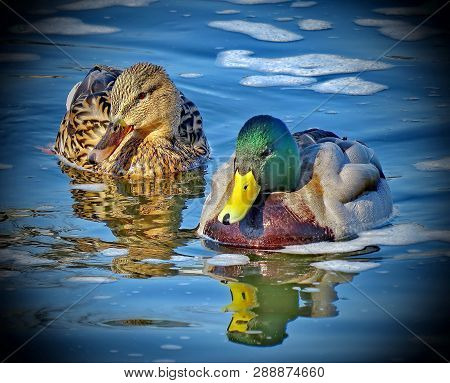 Drake And Duck On The Lake. Mallard - A Bird From The Family Of Ducks Detachment Of Waterfowl. The M