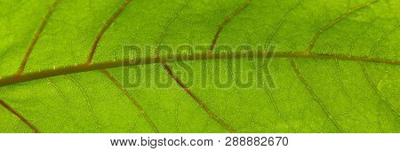 Capillaries And The Green Leaf Surface Of A Plant In Sunlight, Close-up. Web Banner For Your Design.