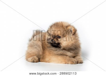 Spitz Puppy On White Background. Beautiful Puppy. Charming Puppy Standing Sideways.
