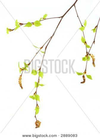Two Branches Of Russian Birch Tree With Catkin, Spring Buds And Green Leaves