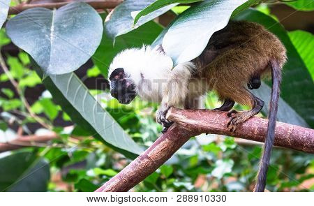 An Adult Pied Tamarin (saguinus Bicolor) Crouching On A Tree Branch.