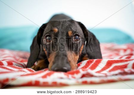 Sad Dachshund, Black And Tan, Is Lying On  A Bed.