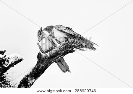 Two Pied Crows, Corvus Albus, On A Dead Tree Branch, Interacting, Northern Namibia. Monochrome