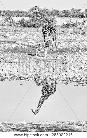 A Namibian Giraffe, Giraffa Camelopardalis Angolensis, And A Burchells Zebra, Equus Quagga Burchelli