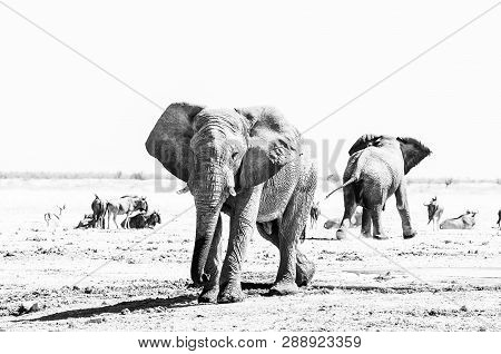 Two African Elephants, Blue Wildebeest And Springbok At A Waterhole In Northern Namibia. Monochrome