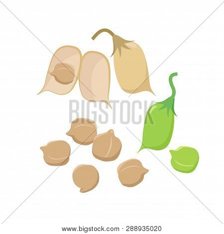 Open Chickpea Pod And Various Ripe Chickpeas Seeds Isolated On White Background Vector Illustration