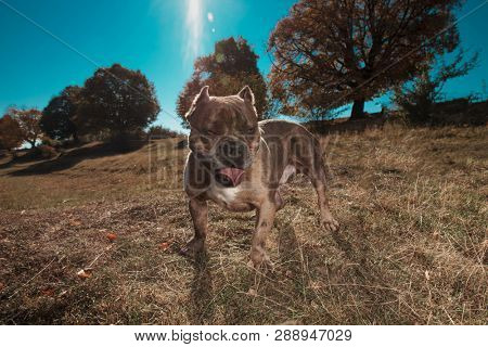 American bully standing in a field with tongue exposed panting poster