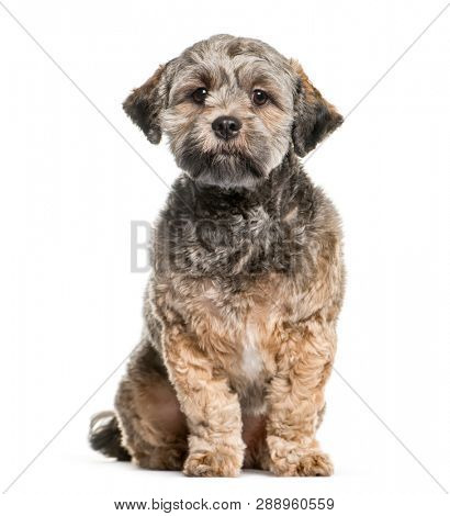 Lhasa Apso sitting in front of white background