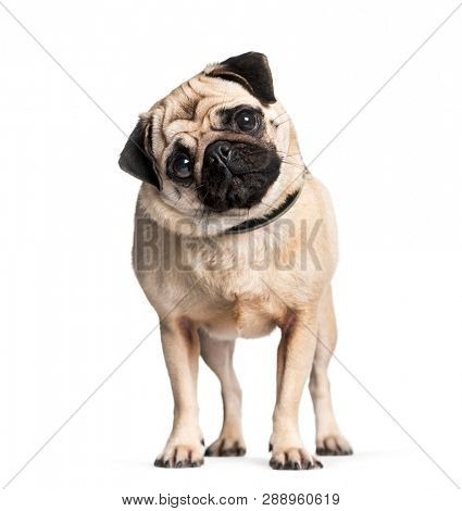 Pug in front of white background