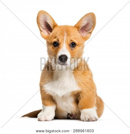 Pembroke Welsh Corgi, 3 months old, sitting in front of white background