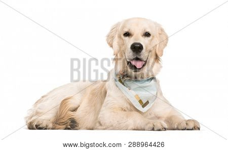 Golden Retriever, 6 months old, lying in front of white background