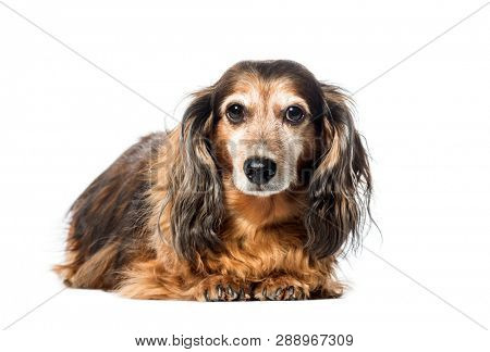 Old Dachshund ,badger dog, sausage dog, wiener dog lying in front of white background