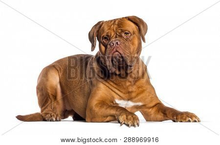 Dogue de Bordeaux, 4 years old, lying in front of white background
