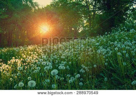 Forest summer landscape - trees and white summer dandelions on the foreground under soft sunlight shining through the trees