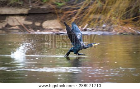A Great Cormorant (phalacrocorax Carbo) Takes Off From The River Severn In Shrewsbury, Shropshire, E