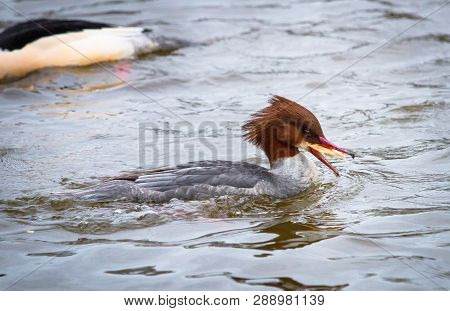 A Female Goosander (mergus Merganser) Eats A Piece Of Bread On The River Severn In Shrewsbury, Shrop