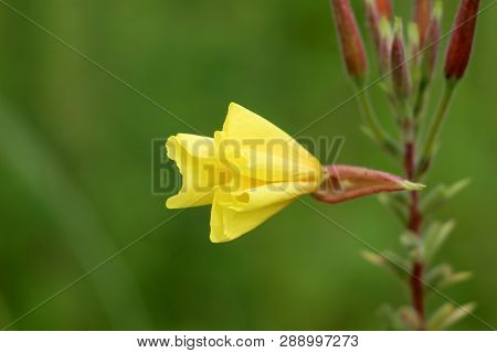 Common Evening Primrose Or Oenothera Biennis Or Evening Star Or Sun Drop Or Weedy Evening Primrose O