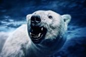 Angry polar bear with sharp teeth poster