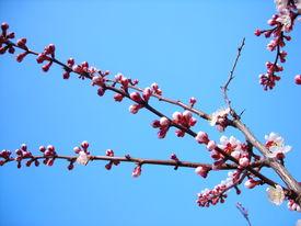 Bloomy Apricot Tree