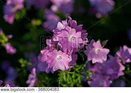 Pink Evening Primrose Flowers (oenothera Speciosa) In The Evening
