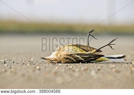 Dead Western Yellow Wagtail (motacilla Flava). A Bird Hit By A Car On The Asphalt. Avian Flu, The Da
